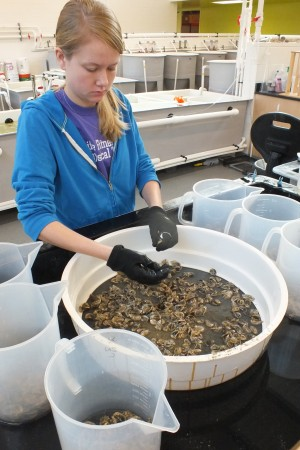Student Paige Millsap sorts oysters in CREST's Operations Building.