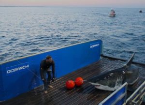A researcher with OCEARCH helps pull great white shark Mary Lee aboard to tag her with a tracking device last year. Photo courtesy Ocearch.