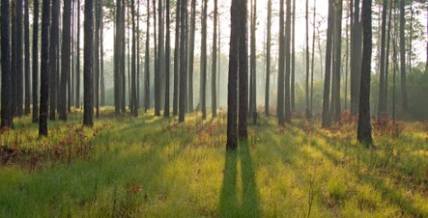 Green Swamp preserve in Brunswick County. Photo courtesy The Nature Conservancy.