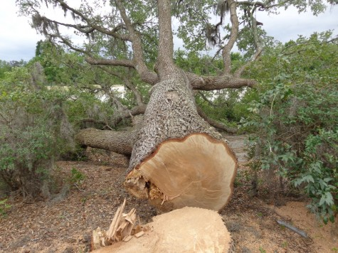 At least two oaks were cut down without a permit at the former Galleria shopping center earlier this week. Photo courtesy Bill Jayne, Wilmington Tree Commission.