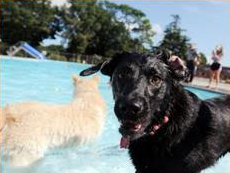 The Legion Stadium pool will be open for the dogs all week. Courtesy photo.