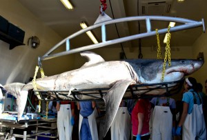 A great white shark washed up on Wrightsville Beach Monday and was examined at UNCW on Tuesday. Photo by Hannah Leyva.