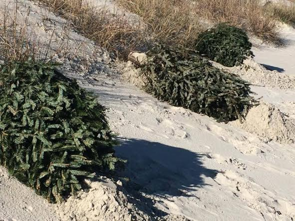 Recycled Christmas trees to be used for dune-building in Carolina ...