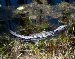 The North Carolina Wildlife Resources Commission is asking the public to report when they spot alligators. (Photo courtesy of the N.C. Wildlife Resources Commission)