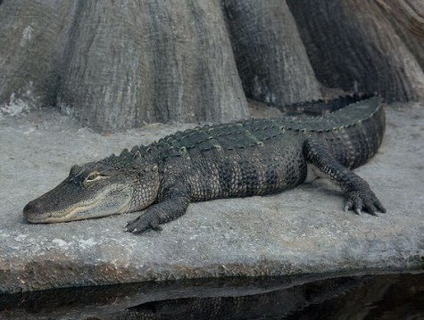 """The NC Aquarium at Fort Fisher will bring one of its """"living dinosaurs"""" to Halyburton Park for a program on alligators. The park will offer several nature sessions this month. Courtesy photo."""