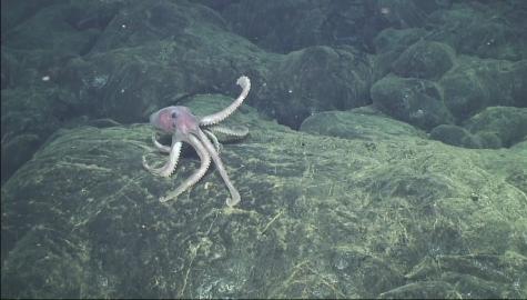 octopus_on_lava