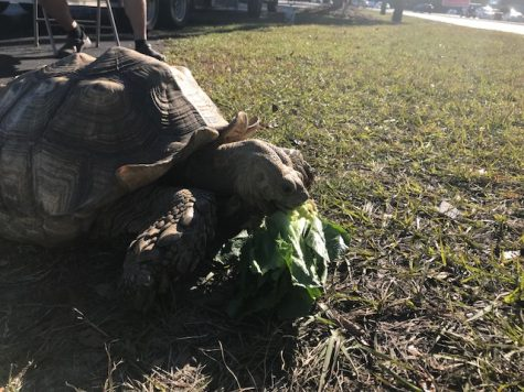 'Herman,' enjoying an afternoon snack of romaine lettuce. (Port City Daily photo / BENJAMIN SCHACHTMAN)