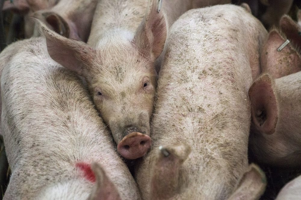 """A multi-million dollar funding """"gift"""" from Smithfield Foods will get redirected from the Attorney General to the state treasury as a result of a lawsuit from New Hanover County Schools. (Port City Daily/File)"""