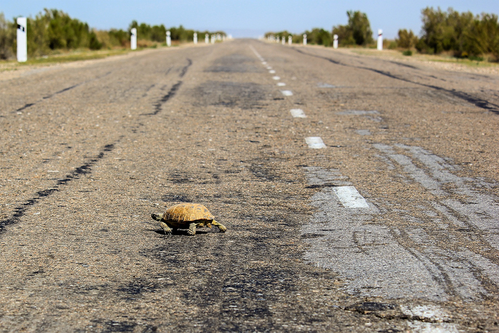 What To Do When You See A Turtle Squirrel Or Goose Crossing The Road Port City Daily