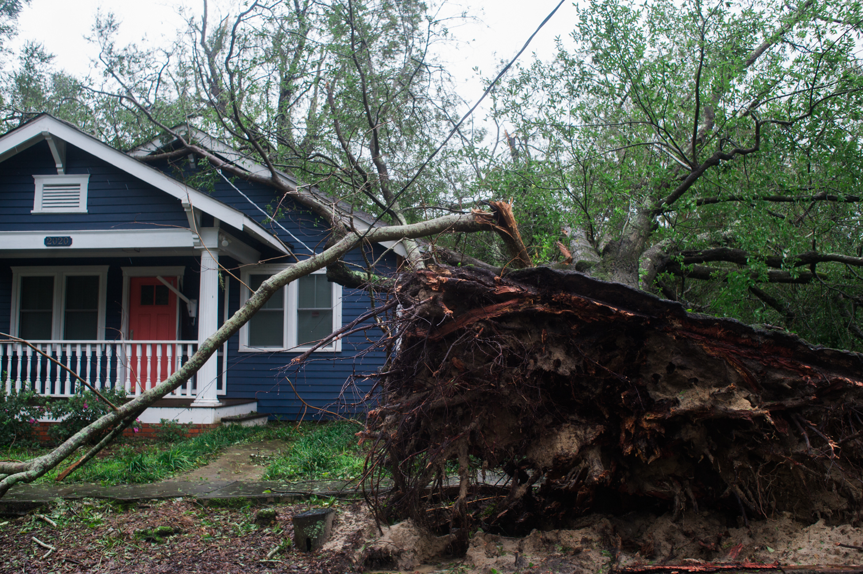 An uprooted tree in Carolina Place, Saturday, September 15, 2018. (Port City Daily photo   Mark Darrough)