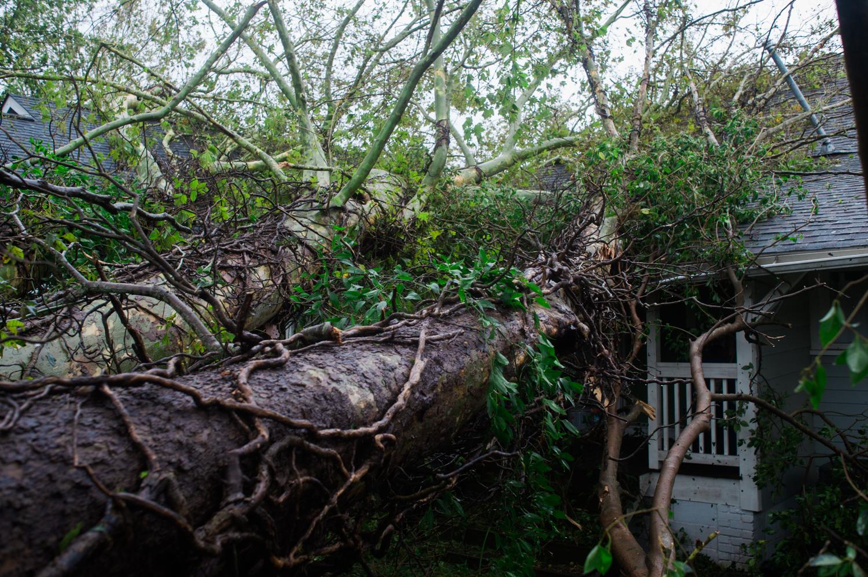 A fallen tree in Carolina Place, Saturday, September 15, 2018. (Port City Daily photo   Mark Darrough)