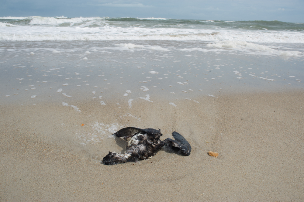 A Dead Bird On Carolina Beach Monday Afternoon September 17 2018 Port