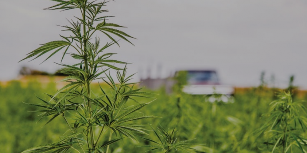 A Wilmington-based company hopes to bring a high standard of professional standards and practices to the state's hemp industry -- and, ultimately, the legalized marijuana industry. (Port City Daily photo / Courtesy CIJ Holdings, Inc.)