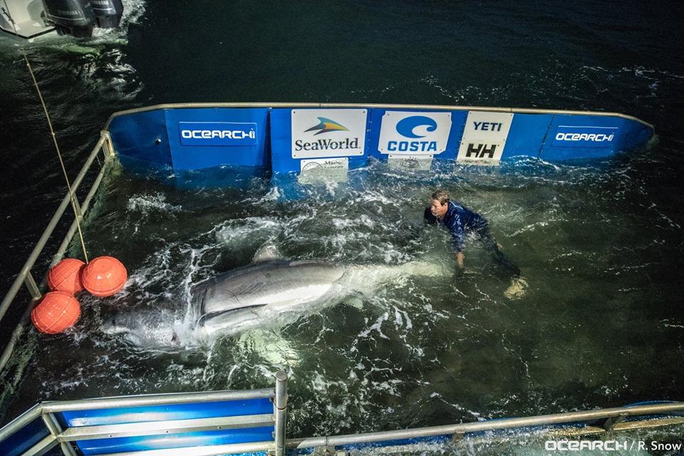 Massive 15-foot great white shark pinged near Charleston, expected