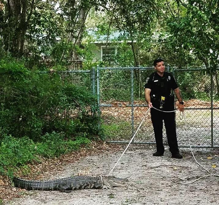 Wilmington police 'investi(gator)' nabs 6-foot alligator